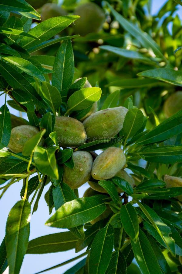 Nueces jovenes de las almendras verdes riping en ?rbol de almendra fotografía de archivo