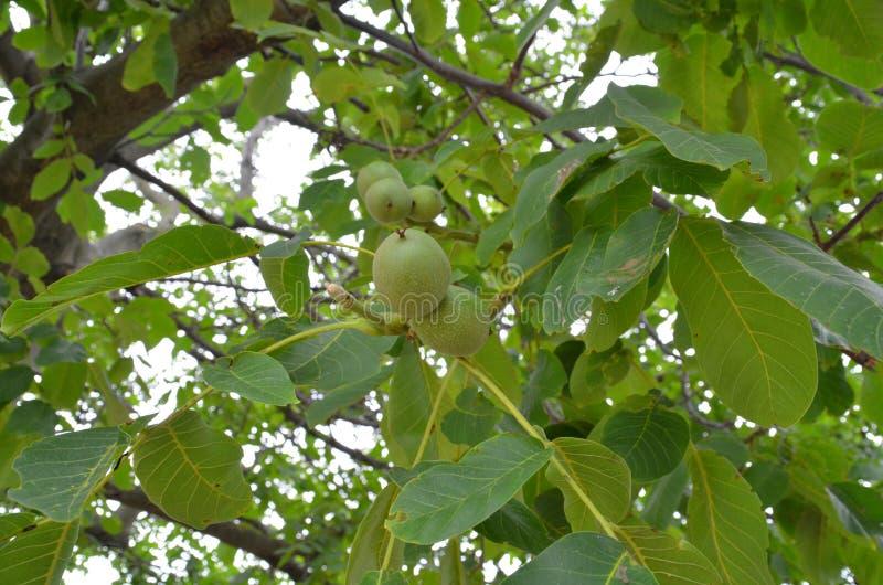 Download Nueces verdes imagen de archivo. Imagen de verde, hermoso - 64201259