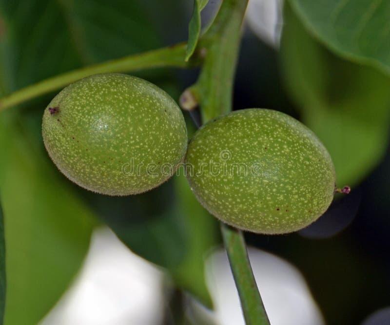 Nueces verdes en el árbol foto de archivo