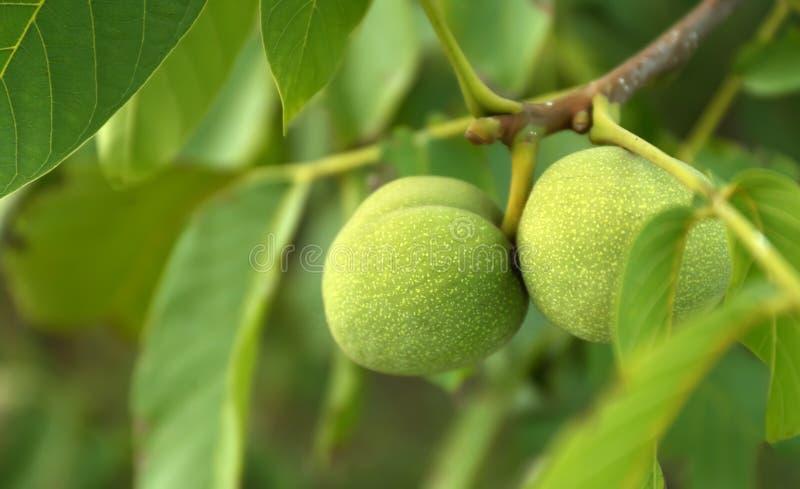 Nueces verdes en rama de árbol en el jardín, primer imagen de archivo