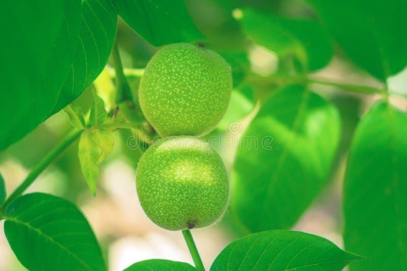 Nueces verdes en una cosecha de la rama de árbol imágenes de archivo libres de regalías