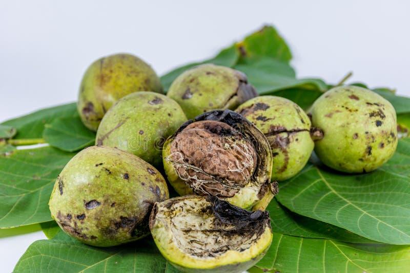 Nueces verdes frescas de la cáscara foto de archivo