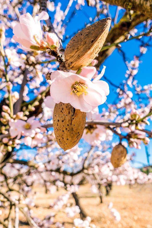 Nueces y flores maduras de la almendra en árbol de almendra floreciente fotos de archivo libres de regalías