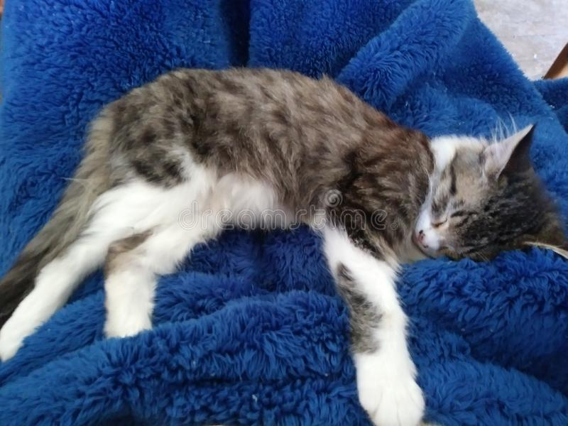A nuestro pequeño gatito, Milly, le encanta Cuddle y es un gatito muy Loable. foto de archivo libre de regalías