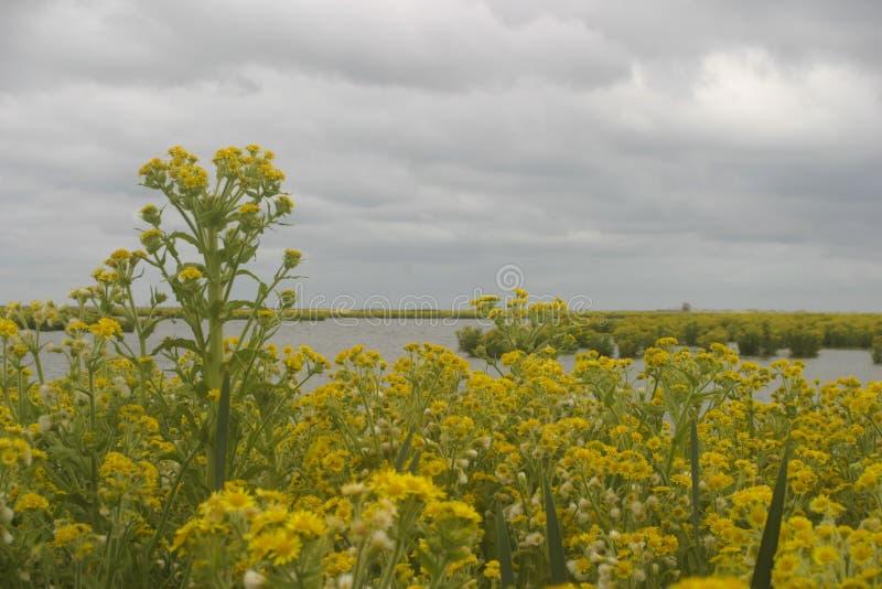 Nueva ?rea Markerwadden del humedal con los palustris de Tephroseris de las plantas de florecimiento y los cielos grises fotografía de archivo libre de regalías
