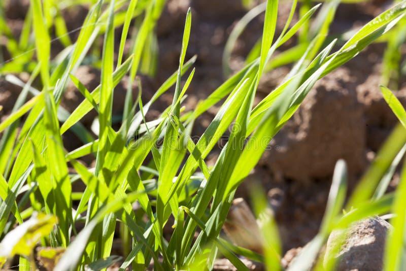 nueva cosecha de cereales imagenes de archivo