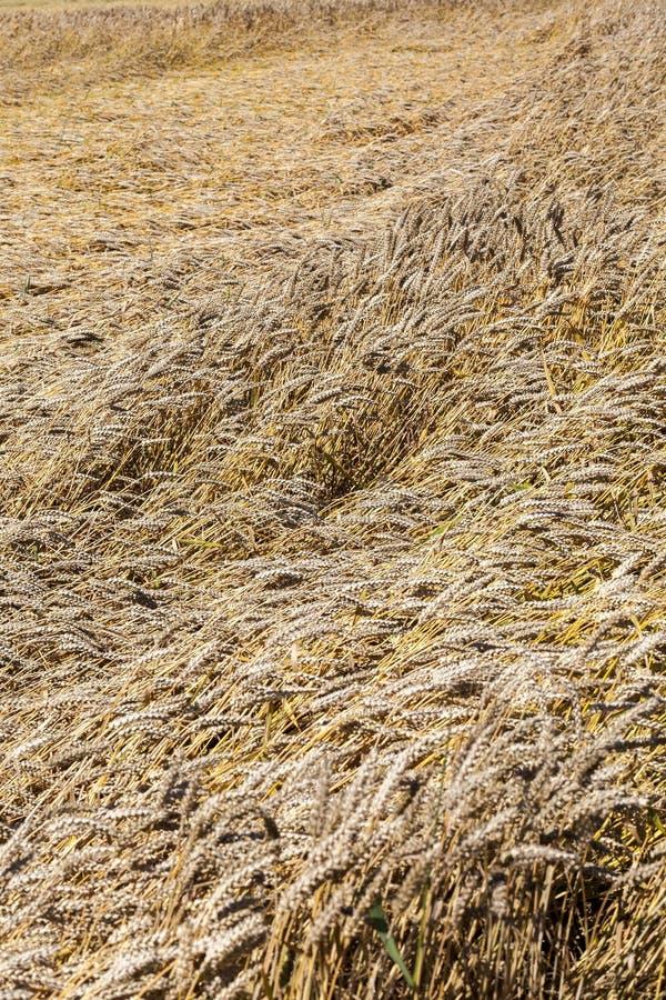 nueva cosecha de cereales imágenes de archivo libres de regalías