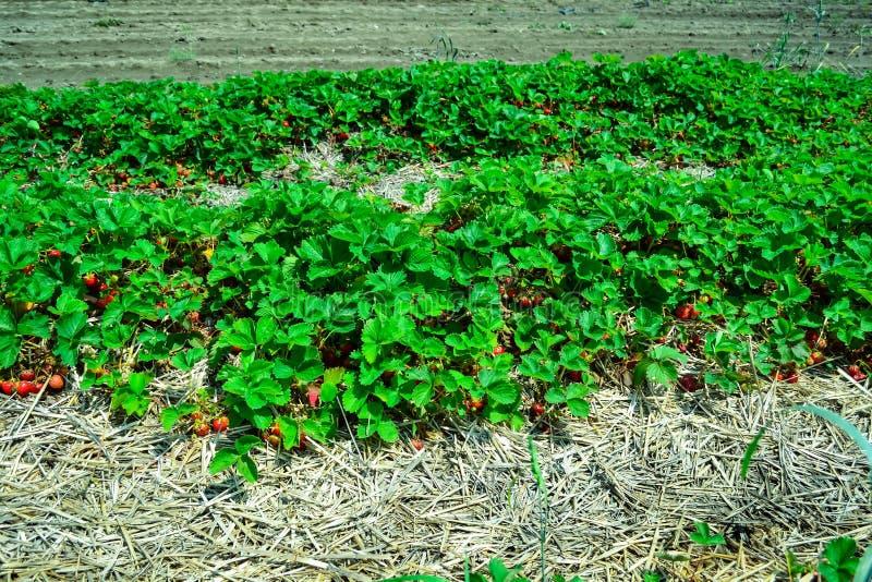 Nueva cosecha de la fresa roja al aire libre fresca dulce, creciendo exterior en suelo fotos de archivo libres de regalías