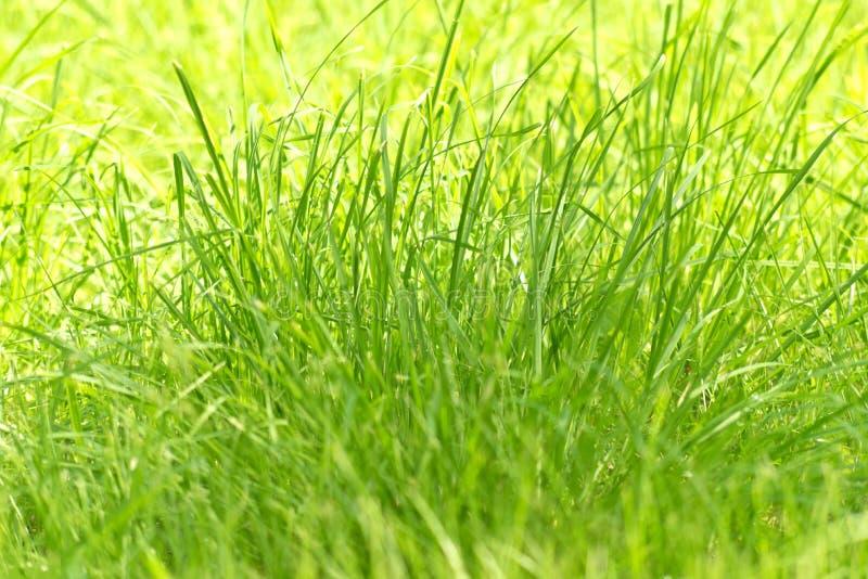 Nueva hierba verde foto de archivo libre de regalías