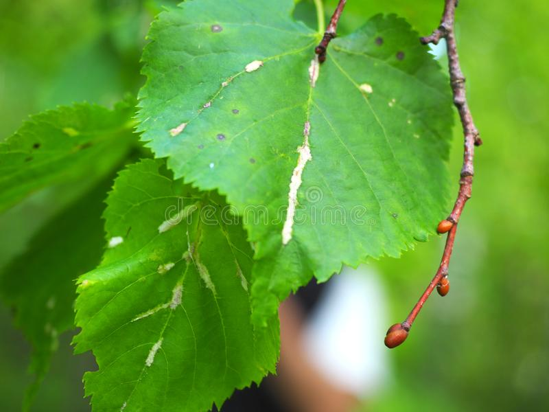 Nueva rama del árbol con los brotes, al lado de las hojas verdes fotos de archivo libres de regalías