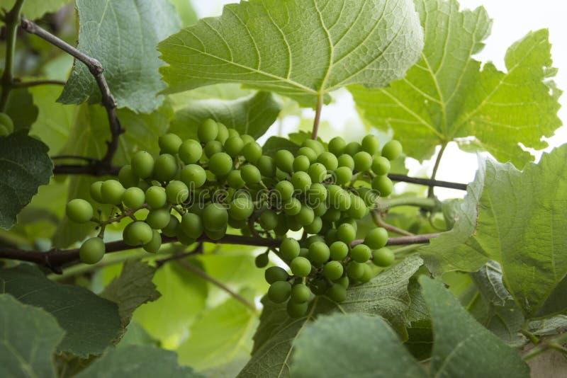 Nueva uva verde en el viñedo fotografía de archivo