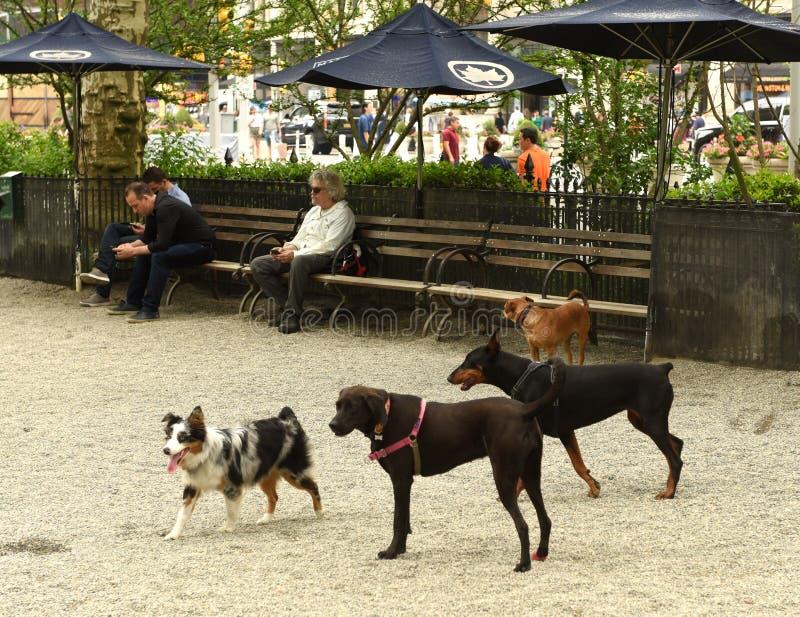 Nueva York, los E.E.U.U. - 30 de mayo de 2018: Perros que caminan de la gente en Madison Squ foto de archivo