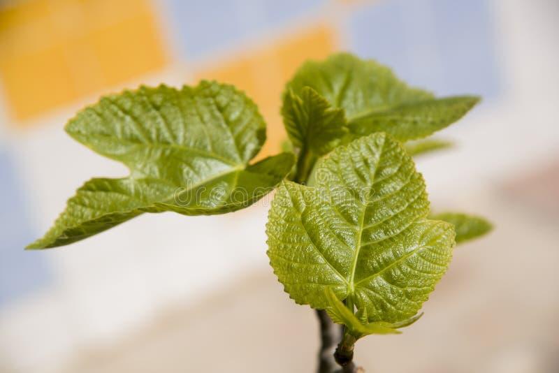 Nuevas hojas de la higuera foto de archivo libre de regalías