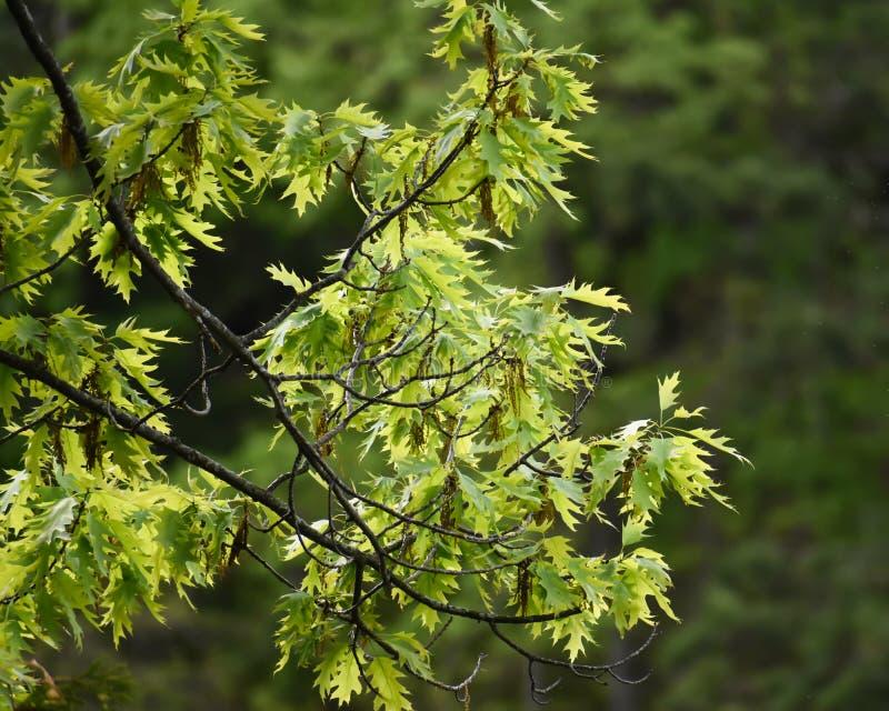 Nuevas hojas en un roble de primavera imágenes de archivo libres de regalías