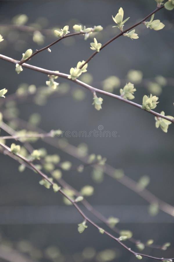 Nuevas hojas que emergen en primavera en las ramitas de un arbusto en sping en un jardín en Nimega los Países Bajos foto de archivo libre de regalías