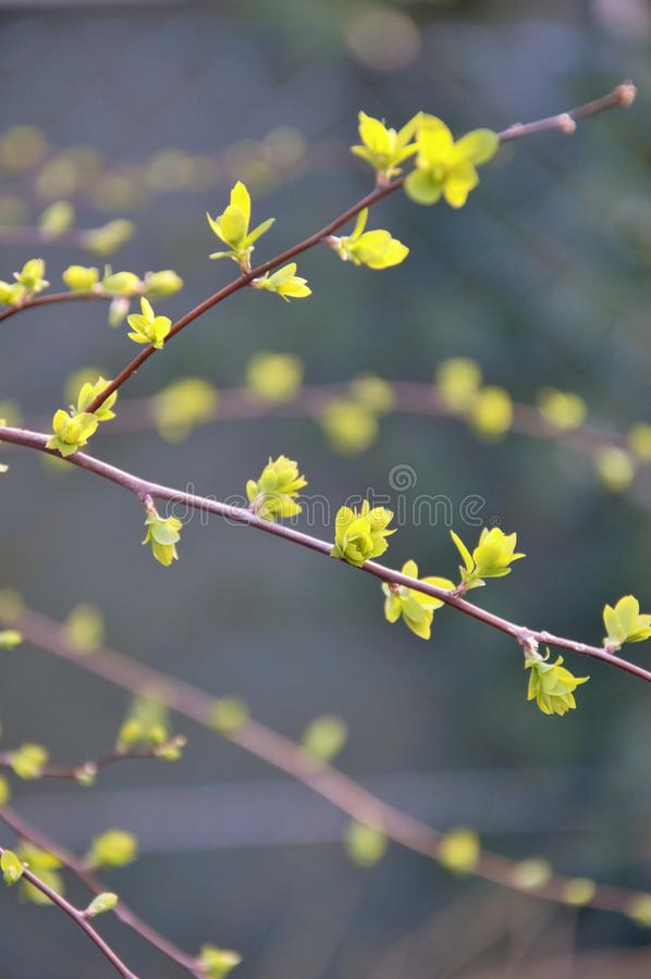 Nuevas hojas que emergen en primavera en las ramitas de un arbusto en sping en un jardín en Nimega los Países Bajos fotos de archivo