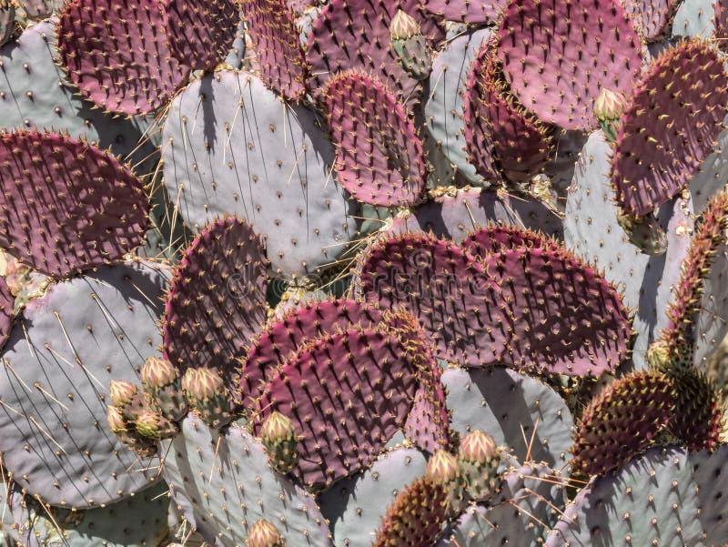 Nuevas hojas rojas, cactus del higo chumbo foto de archivo