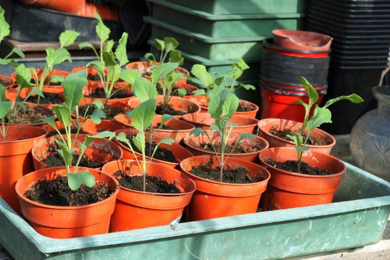 Nuevas plantas de la col en crisoles. fotos de archivo libres de regalías