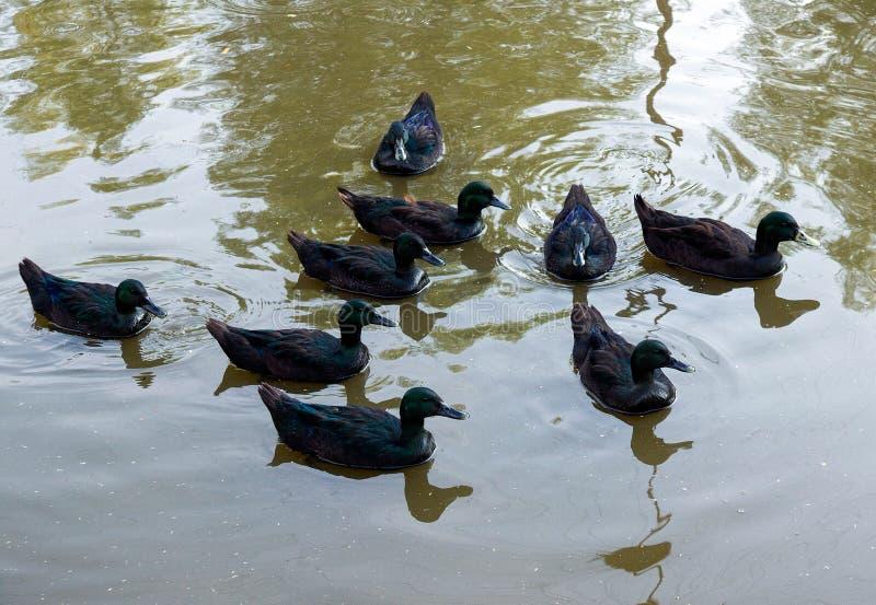 Nueve Emerald Ducks imagen de archivo