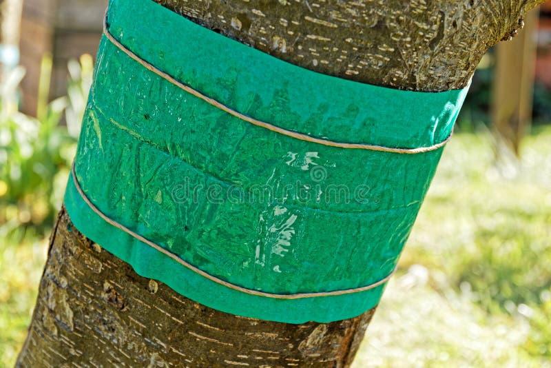 Nuevo anillo del pegamento contra polillas de la manzana foto de archivo libre de regalías