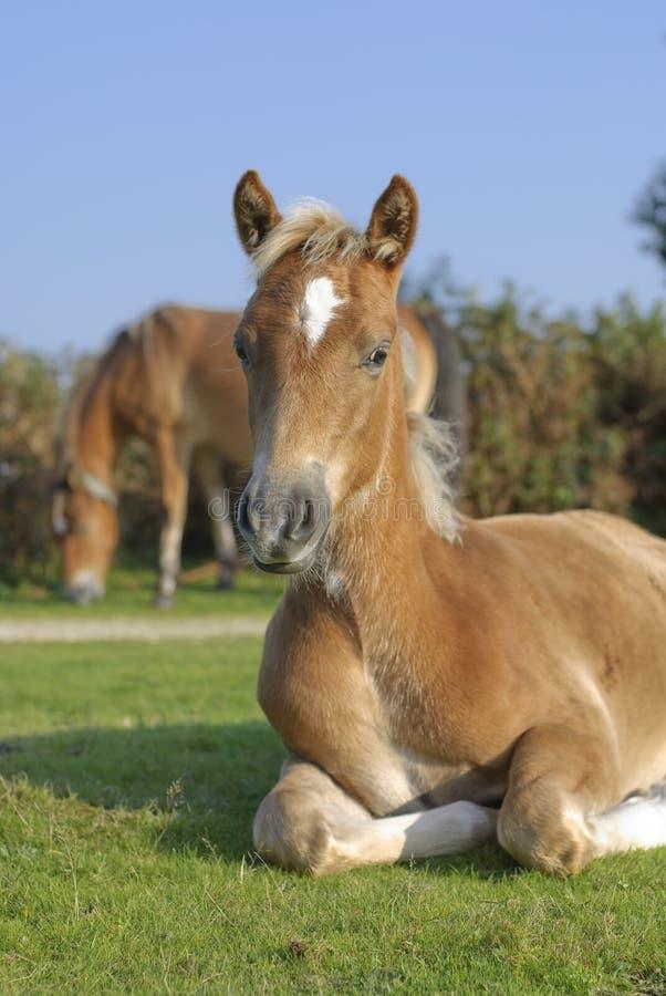 Nuevo caballo del bosque fotos de archivo