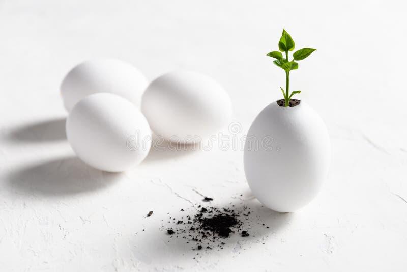 Nuevo concepto de la vida Roturas jovenes del brote a través de la cáscara de huevo Espacio Pascua, eco, concepto de la copia del foto de archivo libre de regalías