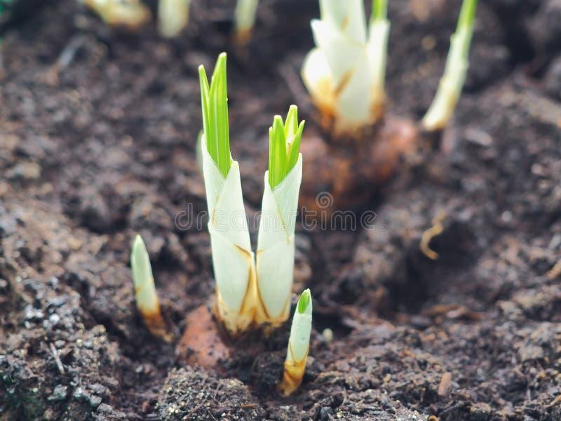 Nuevo concepto del principio de la vida Tema que cultiva un huerto Azafranes jovenes crecientes Brotes de la flor que aparecen en foto de archivo libre de regalías