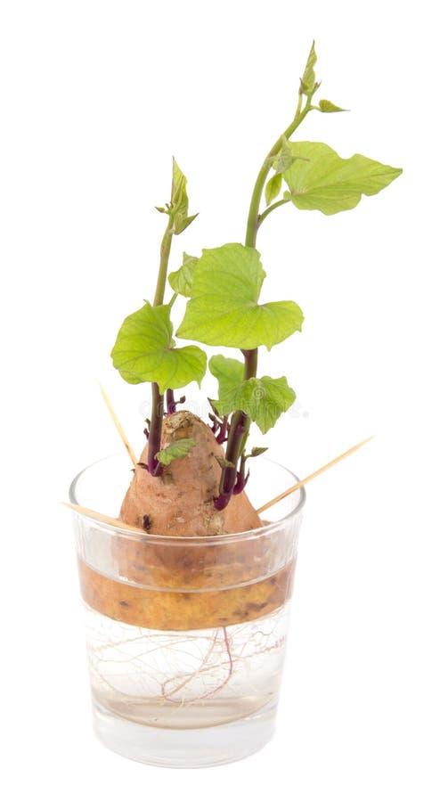Nuevo crecimiento de la raíz de la patata dulce del ñame sobre el vidrio de agua sobre el backgro blanco foto de archivo