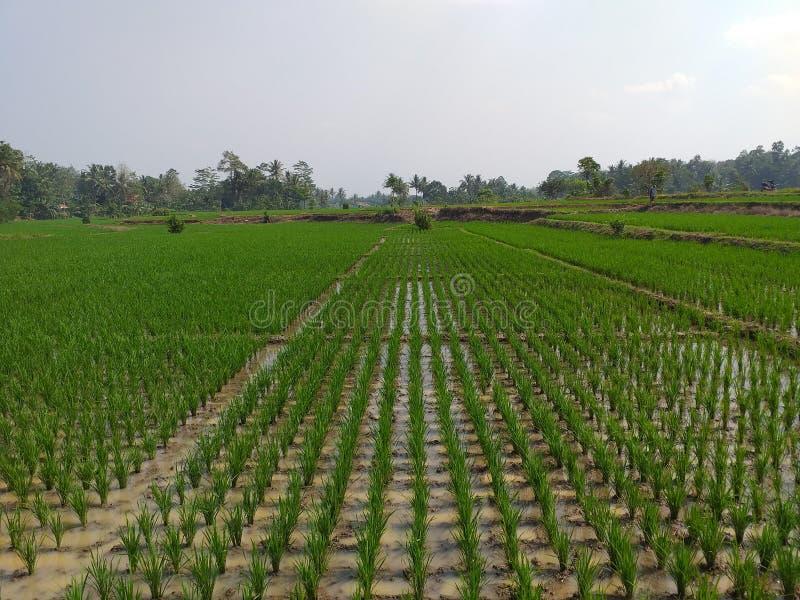 Nuevo establecimiento del campo de arroz foto de archivo