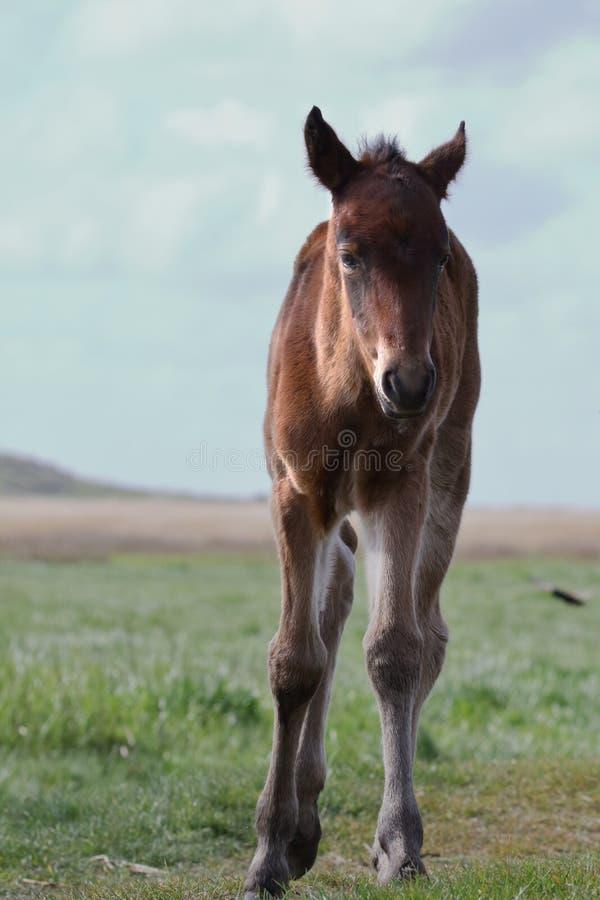 Nuevo Forest Pony Foal First Steps imagen de archivo libre de regalías