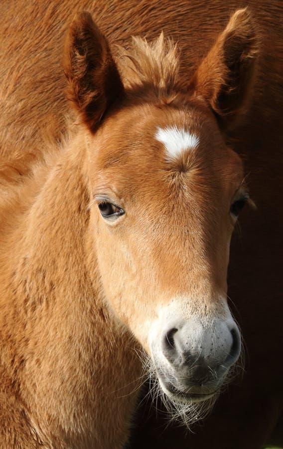 Nuevo Forest Pony Foal Head Shot fotos de archivo
