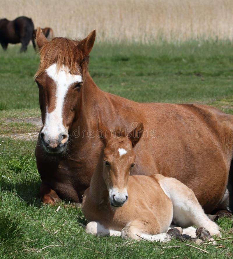 Nuevo Forest Pony And Foal Sitting Down fotos de archivo libres de regalías