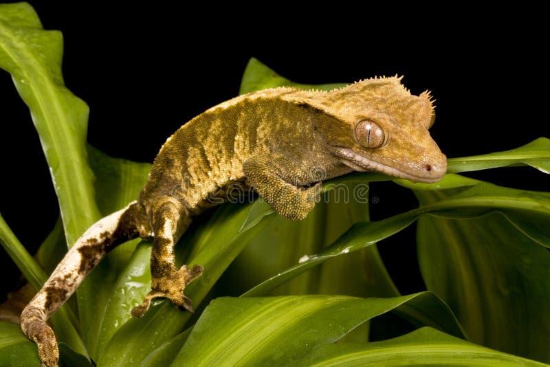 Nuevo Gecko caledonio foto de archivo libre de regalías