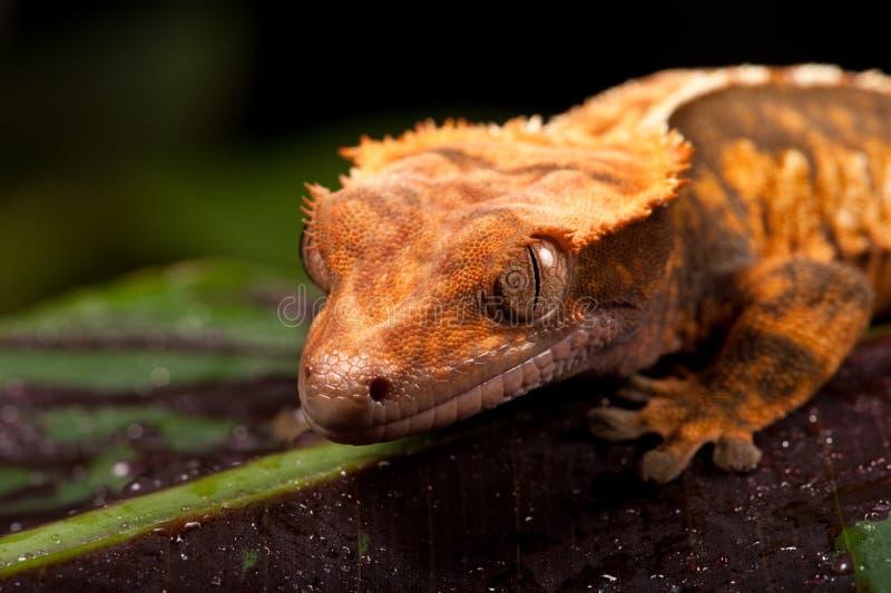 Nuevo Gecko con cresta caledonio fotos de archivo