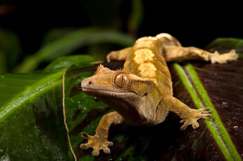 Nuevo Gecko con cresta caledonio imágenes de archivo libres de regalías