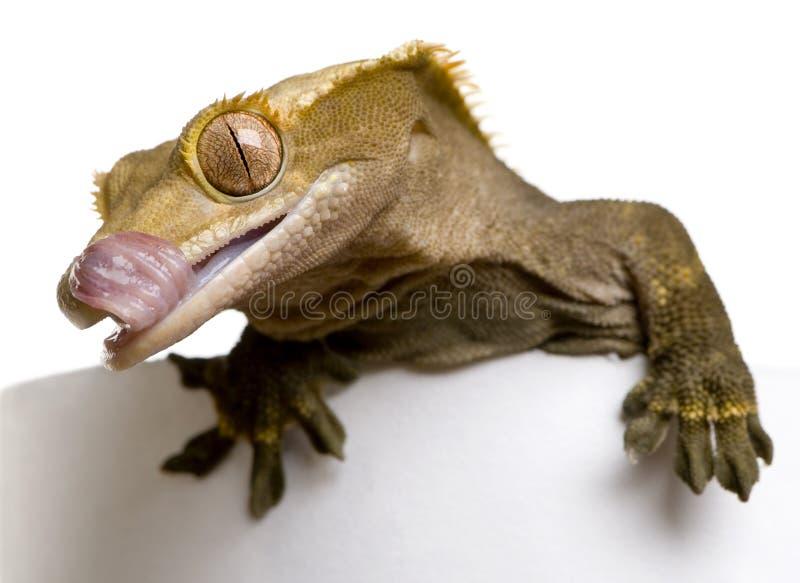 Nuevo Gecko con cresta caledonio, Rhacodactylus foto de archivo