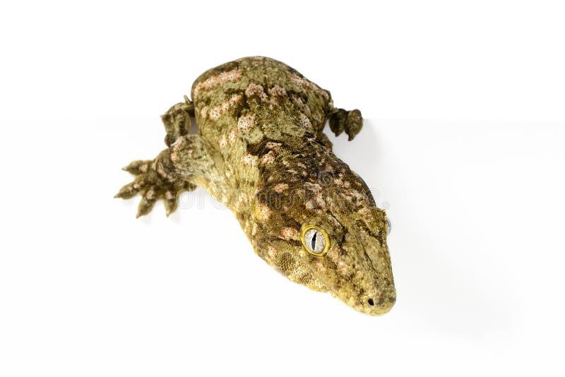 Nuevo Gecko gigante caledonio fotografía de archivo