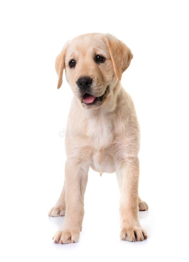 Nuevo labrador de cachorros fotos de archivo