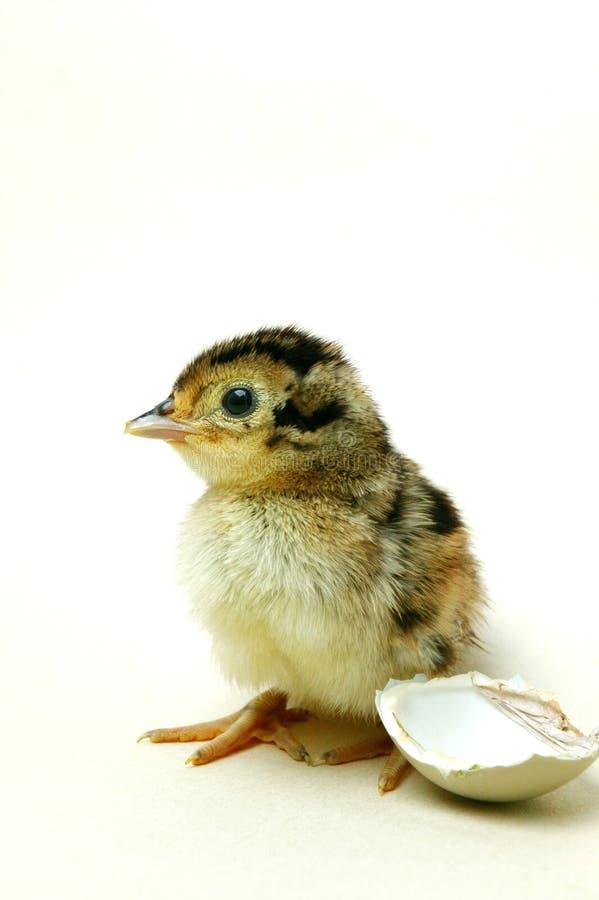 Nuevo polluelo tramado del faisán foto de archivo libre de regalías