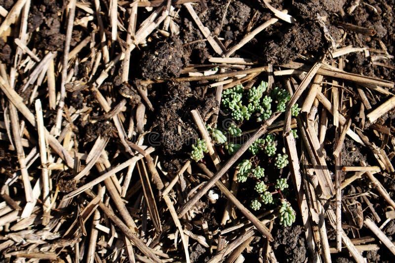 Nuevo primer de la planta en el fondo del fertilizante y de la paja en el jardín imagen de archivo libre de regalías