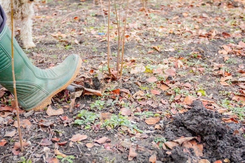 Nuevo vástago de trasplante con las raíces del árbol frutal del padre imagenes de archivo