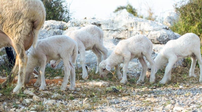 Nuevos corderos del bebé fotos de archivo