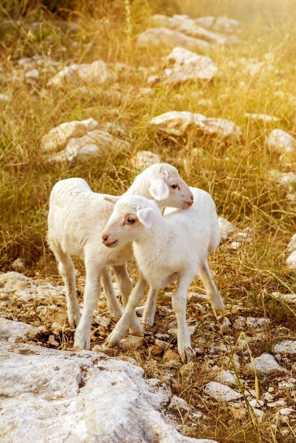 Nuevos corderos del bebé imagen de archivo