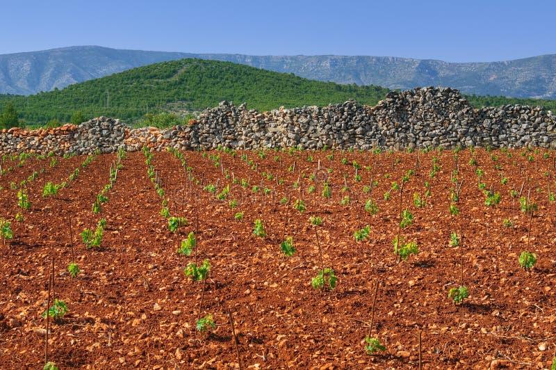 Nuevos viñedos, norte de la isla de Hvar fotos de archivo libres de regalías
