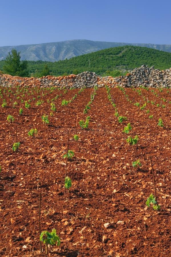 Nuevos viñedos, norte de la isla de Hvar imagen de archivo libre de regalías