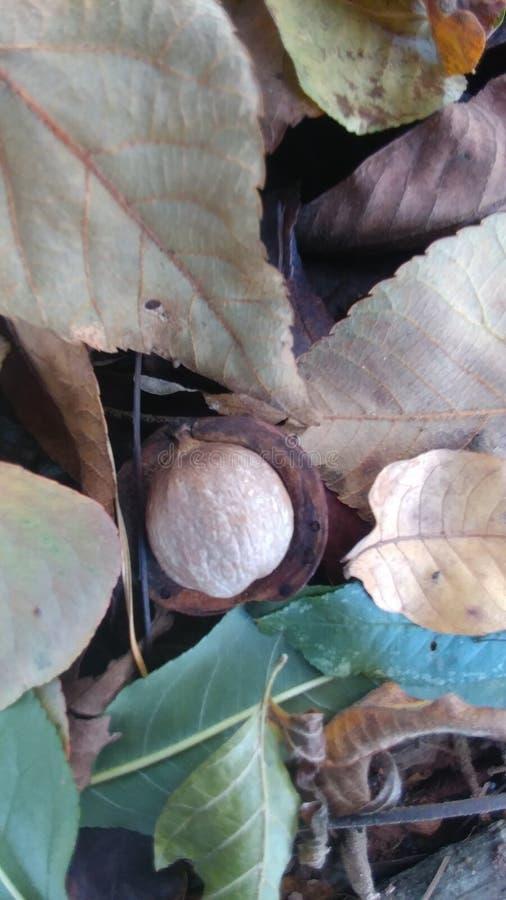 Nuez de Autumn Hickory en hojas imágenes de archivo libres de regalías