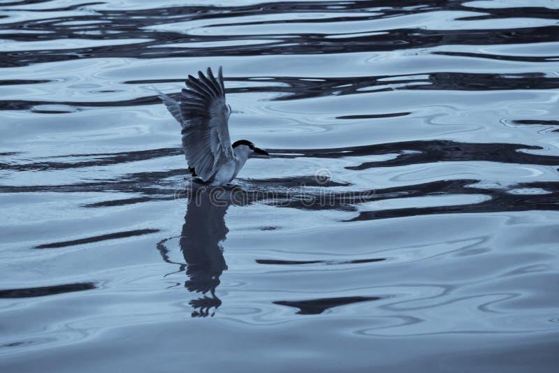 nuit-héron Noir-couronné image stock