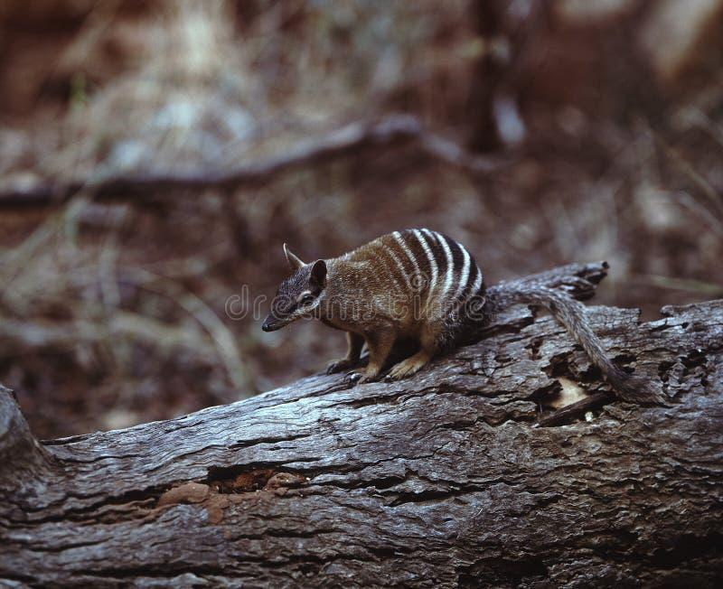 Numbat, Myrmecobius fasciatus,是非常罕见的有袋动物,澳大利亚 免版税库存图片