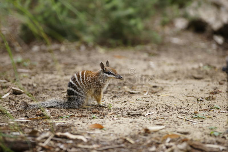 Numbat. A numbat assessing its surrounding for potential danger