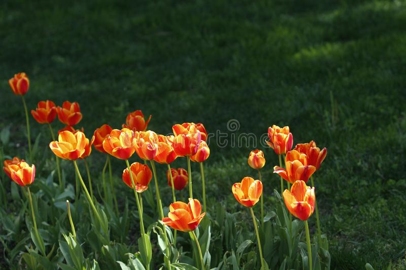 A number of fully blossomed orange-yellow tulips. And their stems under sunlight with green foliage stock photography